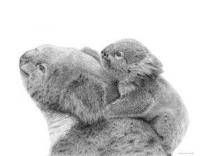Koala (voorbeeld 50x50 zonder witrand voor PassePartout)